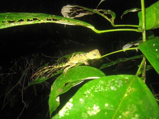 Bladätande ödla! Leaf eating lizard!
