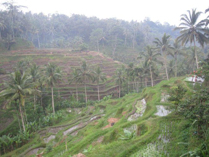 Risfältplatåerna i Tegalalang utanför Ubud! Här kan man se vulkanaskan från vulkanen Raung på Java som bildar en tät vit dimma över Bali! The rice field plateaus in Tegalalang outside Ubud! Here you can see the volcanic ash from mount Raung on Java which form a dense white mist over Bali!