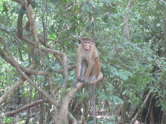 Det finns apor i Udawatta Kele-skogen! There are monkeys in Udawatta Kele Forest!