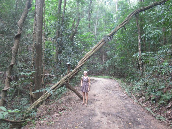 Jättelian som sträcker sig många hundra meter i skogen. Ulrika för skala! A giant liana which extends several hundred meters into the forest. Ulrika for scale!