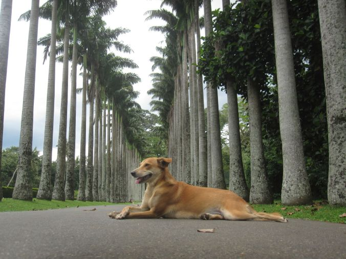 Botaniska trädgården i Kandy! Kungen av palmavenyn! Botanical gardens in Kandy! The king of palm tree avenue!