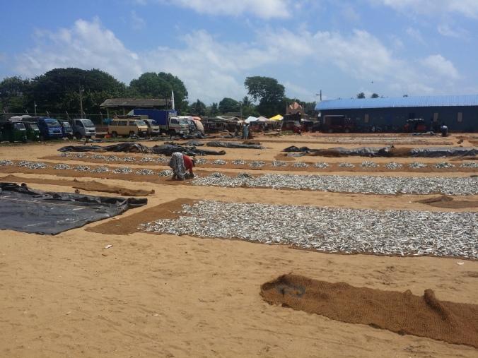 Fiskmarknaden i Negombo. Här är torkstationen för alla fångade fiskar! The fish market in Negombo. This is the drying station for all the caught fish!