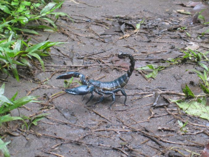 En blå skorpion korsade vår väg! A blue scorpion crossed our path!!