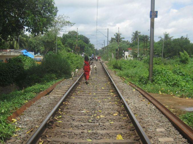 Vallar getter på järnvägen! Herding the goats on the railroad!