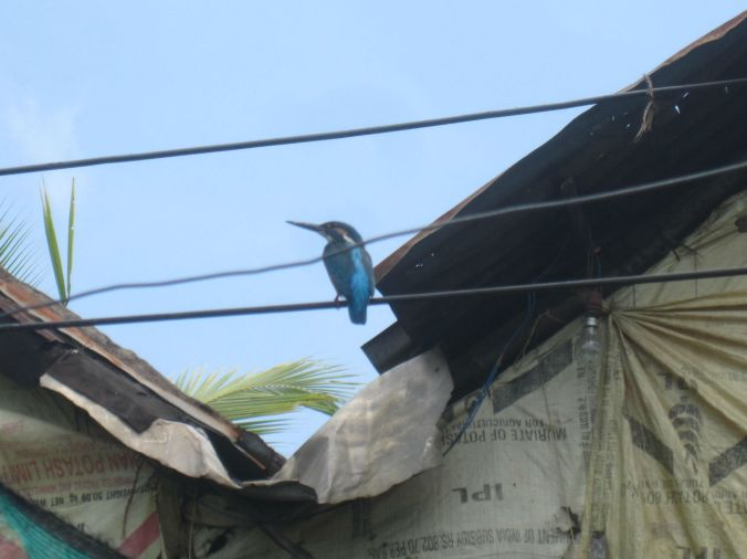 Den blåa kungsfiskaren! The blue kingfisher!