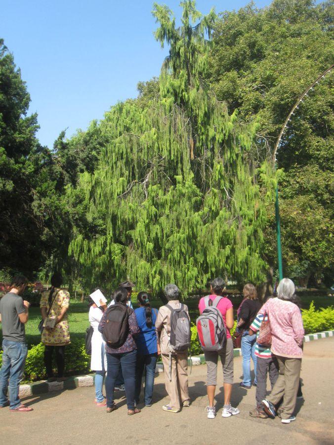 Vår grupp som blev visade ett träd som blev planterad här efter att Mr Fortune tagit med frön under hans stöldturne i Kina! Our group was shown a tree that was planted here after Mr. Fortune brought back seeds from his theft tour in China!