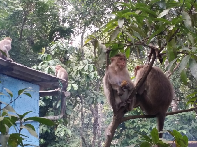 Aporna som levde i skogen vid vårt homestay! The monkeys that lived in the forest next to our home stay!