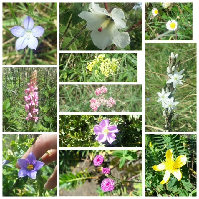 Kollage med blommorna vi hittade på berget! Collage of the flowers we found on the mountain!