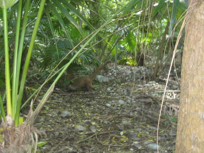 Vi hittade stora mårddjur som levde i nationalparken som finns här i Tulum! We found large mustelids that lived in the park that are available here in Tulum!